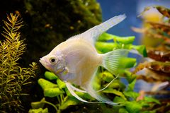 Photo of aquarium white fish on green natural background. Photo of aquarium tropical white fish on green natural background Royalty Free Stock Photo