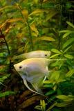 Photo of aquarium white fish on green natural background. Photo of aquarium tropical white fish on green natural background Royalty Free Stock Image