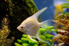 Photo of aquarium white fish on green natural background. Photo of aquarium tropical white fish on green natural background Stock Photography