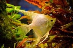 Photo of aquarium white fish on green natural background. Photo of aquarium tropical white fish on green natural background Royalty Free Stock Photos