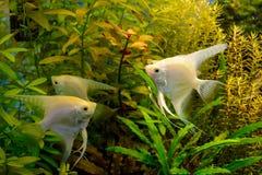 Photo of aquarium white fish on green natural background. Photo of aquarium tropical white fish on green natural background Stock Photo