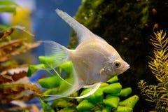 Photo of aquarium white fish on green natural background. Photo of aquarium tropical white fish on green natural background Stock Photos