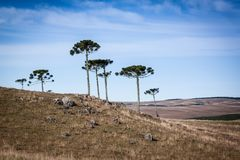 Araucarias of the south of Brasil. A photo of the araucarias in the southern plateau of Brazil. Undergrowth high in canyons Stock Photography