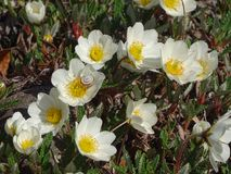 Dryas octopetala. In the photo are arctic-alpine flowering plants, Dryas octopetala. Photo was made in spring Royalty Free Stock Photos