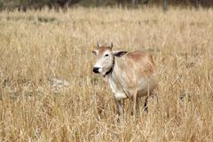 Asian cow in yellow field. Photo of asian cow in yellow field Stock Photo