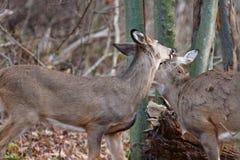 Photo avec les paires de cerfs communs dans l'amour Photographie stock