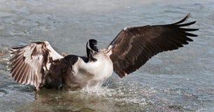 Photo avec un atterrissage d'oie de Canada sur l'eau glaciale Photos libres de droits
