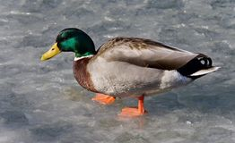 photo avec un canard marchant sur la glace Photos libres de droits