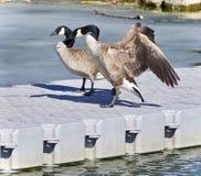 photo avec une position d'oie de Canada Photos stock