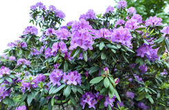 Photo of azalea indica happy days evergreen shrub. With bright green foliage and purple violet blooming flowers Stock Photography