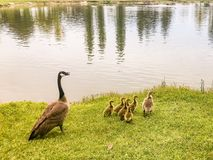Baby Geese and Mother Guiding Them. This photo of baby geese and their mother by the water was taken in Turlock California, at Donelley Park royalty free stock photos