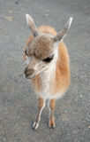 A photo of baby of guanaco Stock Images