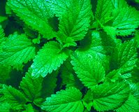 Photo for background of green mint leaves Stock Photo