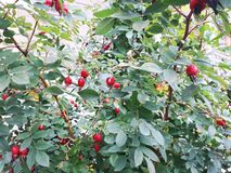 Photo background of leaves and berries of the wild rose Bush royalty free stock image