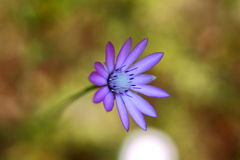Photo background with purple flower Royalty Free Stock Images