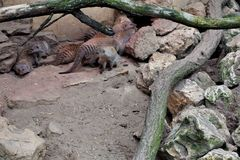 Banded mongoose family hiding under branches and rocks. Photo of a banded mongoose family hiding under branches and rocks Stock Images