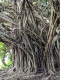 Banyon Tree Roots in hawaii royalty free stock image