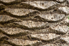 Photo  bark of an old palm tree Stock Image
