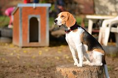 Photo of a Beagle dog in garden Royalty Free Stock Image