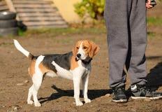 Photo of a Beagle dog Royalty Free Stock Image