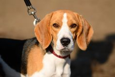 Photo of a Beagle dog Stock Image