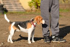 Photo of a Beagle dog Royalty Free Stock Images