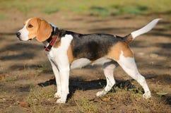 Photo of a Beagle dog Stock Photography