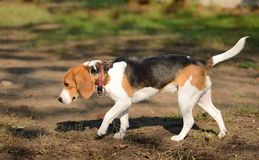 Photo of a Beagle dog Stock Images