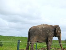 Beaultiful Elephant in Protection Reserve royalty free stock photos