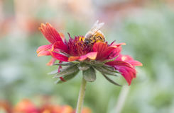 Photo of a beautiful bee and flowers a sunny day. Royalty Free Stock Photo