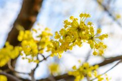 Photo of blooming yellow twig dogwood in garden in spring Royalty Free Stock Images