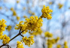 Photo of blooming yellow twig dogwood in garden in spring Stock Images