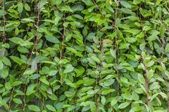 Tiny green leaves background. Royalty Free Stock Photos