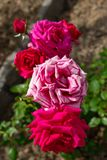 Bunch of white red roses royalty free stock photography