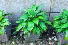 Photo of beautiful croton plant royalty free stock images