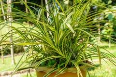 Photo of beautiful croton plant stock photos