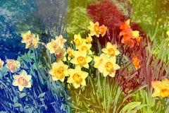 Photo beautiful daffodils Royalty Free Stock Photos