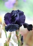 Photo of a beautiful dark-blue iris Royalty Free Stock Images
