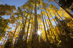 Photo of beautiful fall season in Colorado. With bright Aspen trees looking up perspective Stock Photo