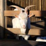Photo beautiful goat Stock Image
