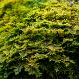 Photo of green moss in forest in Carpathian mountains Royalty Free Stock Photo
