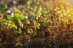 A photo of beautiful green young spring moss sprouts in the sunlight. Closeup toned photo of moss. Romantic morning or evening fai Royalty Free Stock Image