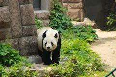 Beautiful panda in Beijing zoo stock images