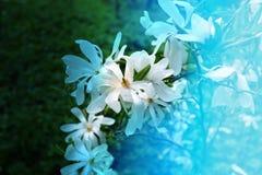 Photo beautiful magnolia Stock Photos