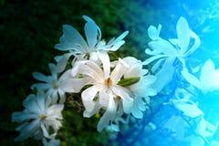 Photo beautiful magnolia Stock Images