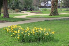 Daffodils and meandering park path Stock Image
