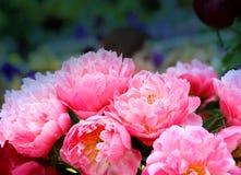 Photo of beautiful peonies Stock Images