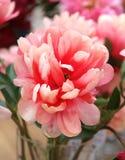 Photo of beautiful pink peony Stock Photo