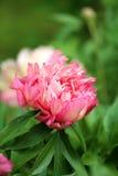 Photo of beautiful pink peony Royalty Free Stock Photo