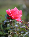 Photo beautiful pink rose Stock Images